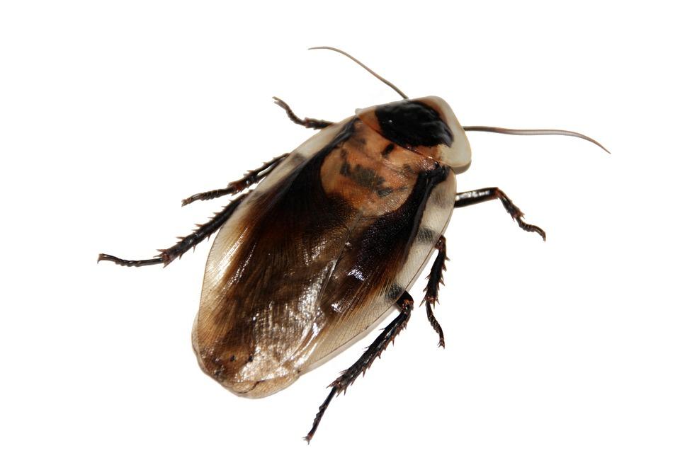 Les blattes : comment s'en débarrasser ?